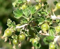 Ribes velutinum