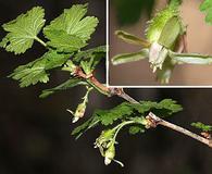 Ribes watsonianum