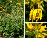 Rudbeckia californica