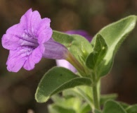 Ruellia californica