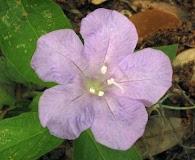 Ruellia ciliosa