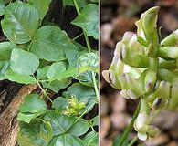 Rupertia physodes