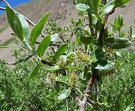 Salix brachycarpa