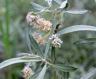 Salix candida