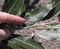 Salix myricoides