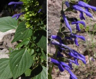 Salvia mexicana