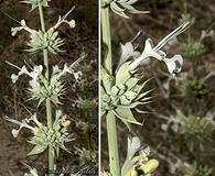 Salvia vaseyi