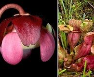 Sarracenia rosea