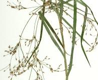 Scirpus divaricatus