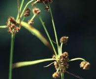 Scirpus hattorianus