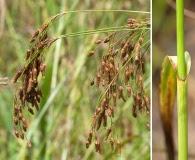 Scirpus lineatus