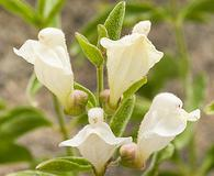 Scutellaria californica