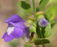 Scutellaria potosina