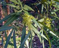 Searsia lancea