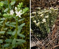 Sedum cockerellii