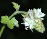 Sidalcea malachroides