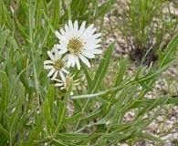Silphium albiflorum