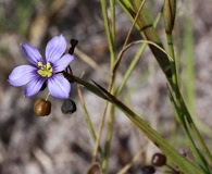 Sisyrinchium xerophyllum