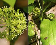 Smilax illinoensis