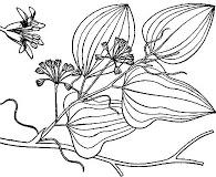 Smilax pseudochina