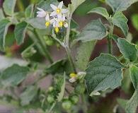 Solanum emulans