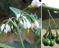 Solanum furcatum