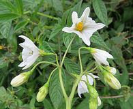 Solanum nigrescens
