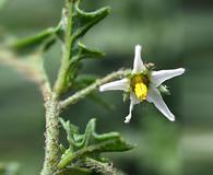 Solanum triflorum