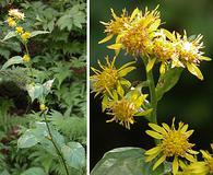 Solidago macrophylla
