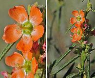 Sphaeralcea angustifolia