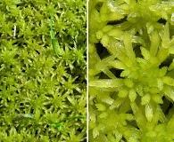 Sphagnum flexuosum