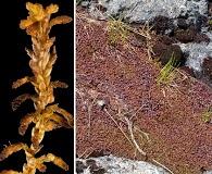 Sphagnum pylaesii