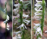 Spiranthes eatonii
