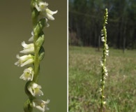 Spiranthes floridana