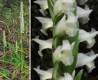 Spiranthes odorata