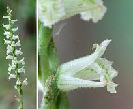 Spiranthes praecox