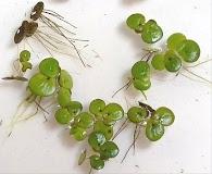 Spirodela polyrrhiza