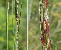 Sporobolus compositus
