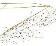 Sporobolus floridanus
