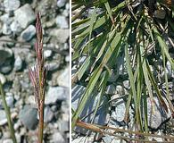 Sporobolus vaginiflorus