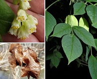 Staphylea trifolia