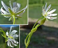 Stellaria longifolia