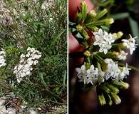 Stevia salicifolia