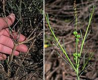 Stillingia linearifolia