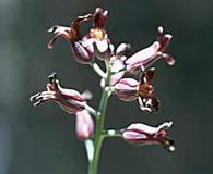 Streptanthus campestris