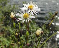 Symphyotrichum boreale