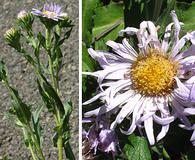 Symphyotrichum cusickii