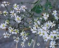 Symphyotrichum drummondii