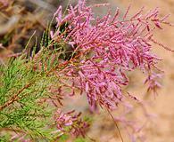 Tamarix chinensis