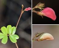 Tephrosia chrysophylla